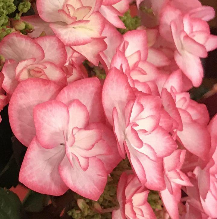 母の日はイイハナでしか手に入らない新品種の鉢植え!花の香りと華やかさのフェアリーアイ